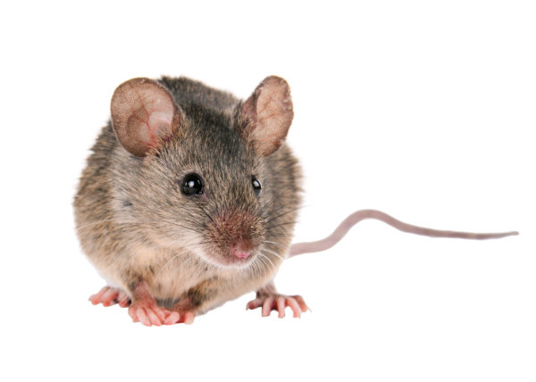 Front view of a mouse on a white background