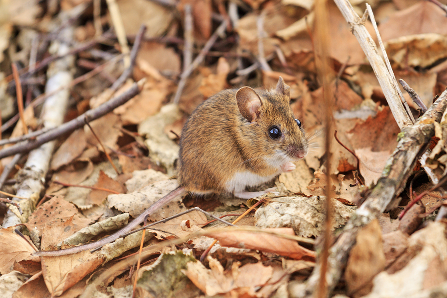 A brown mouse in the midst of fallen brown leaves and twigs