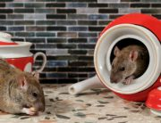 Link to blogpost: Can You Spot The Difference Between Rats and Mice?