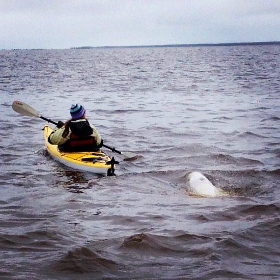 beluga whale chasing kayaker