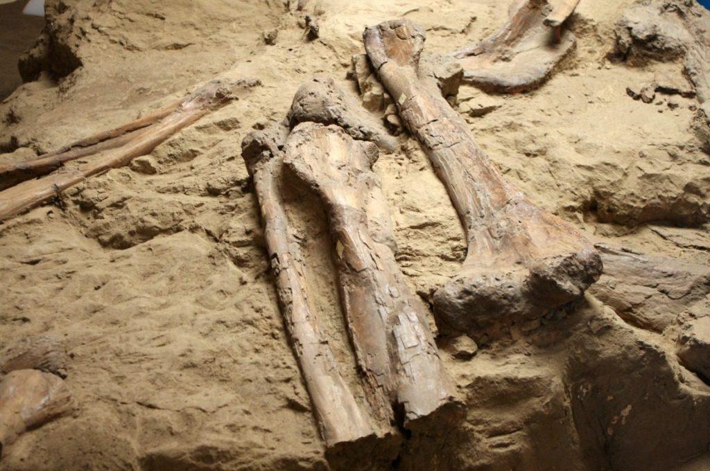 large dinosaur leg bone