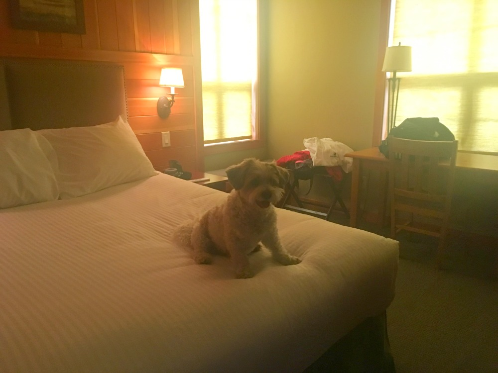 dog in hotel room
