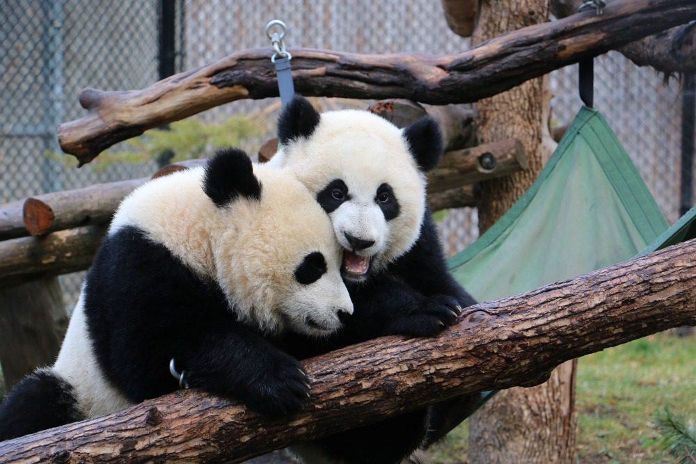 Chinese zoo pandas