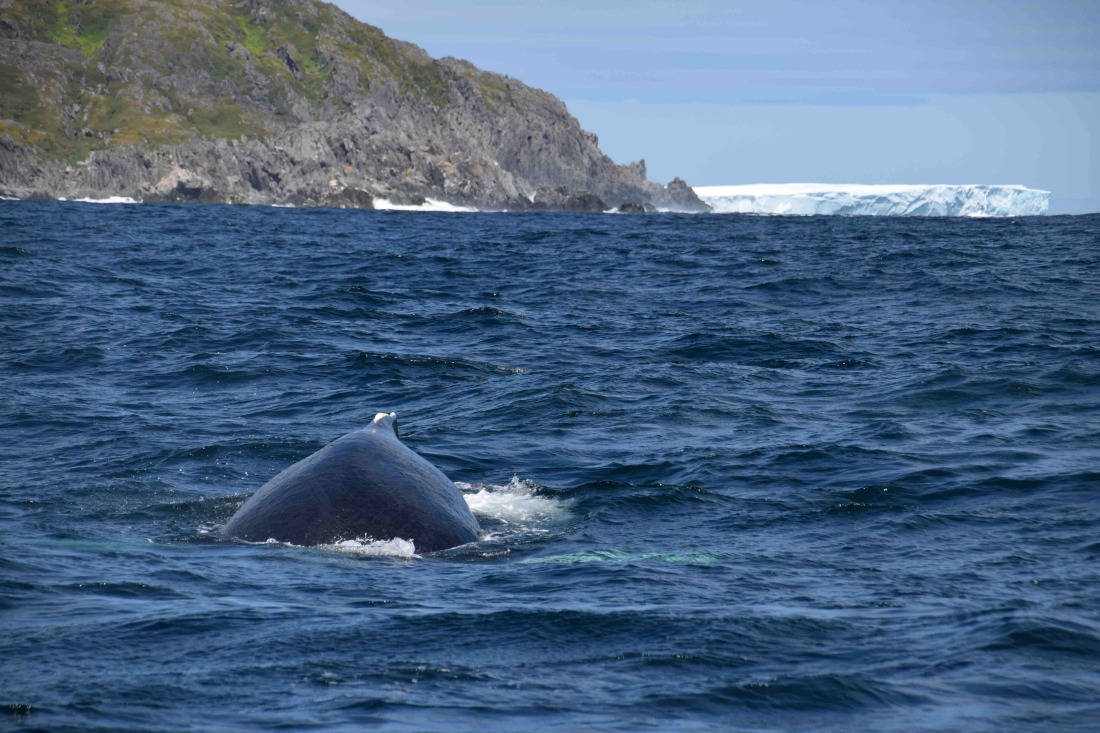 whale watching and iceberg boat tour