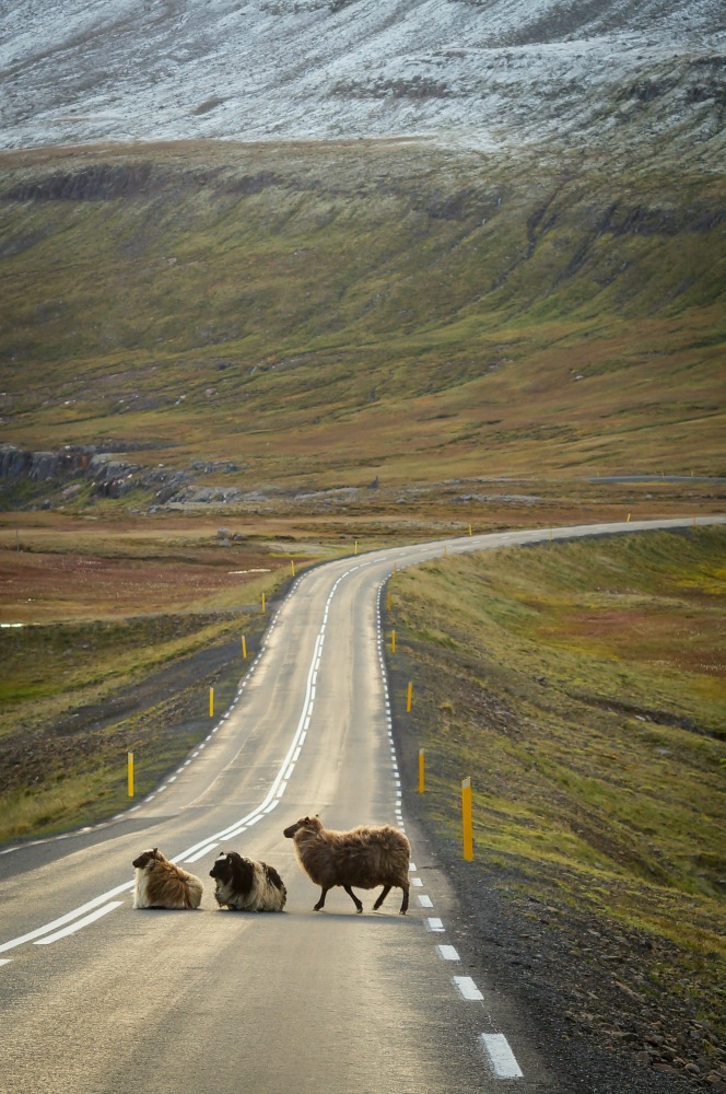 sheep crossing road iceland