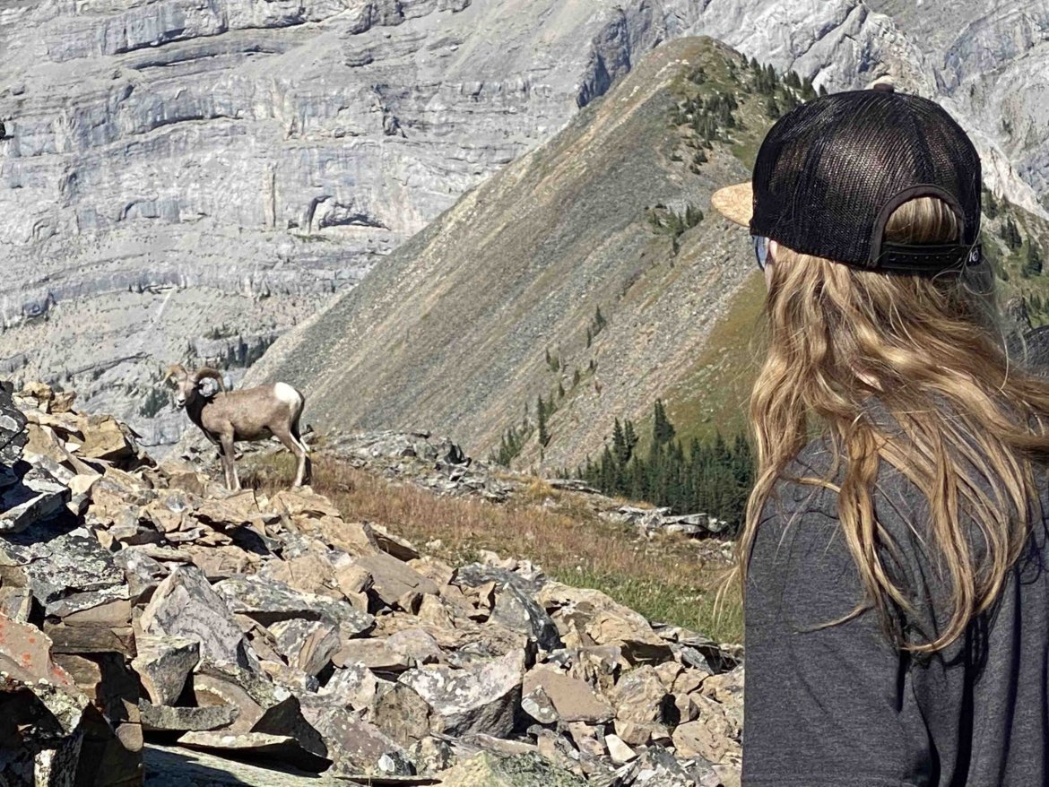 rocky mountain big horn sheep on hiking trail