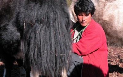 Bhutan, yaks tijdens de trekking tussen Paro en Thimpu