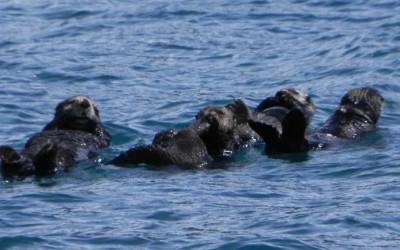 Alaska, zeeotters, Resurrection Bay