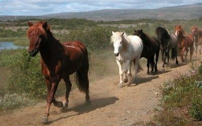IJsland, IJslandse paarden