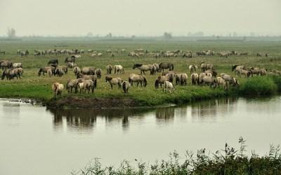 Konikpaarden, Oostervaardersplassen, 25-9-2013