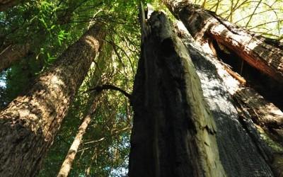 USA - Yosemite NP, Mariposa Grove of giant sequoias