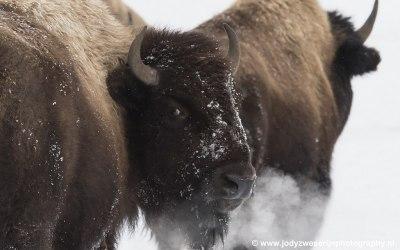 Bizon, Yellowstone, USA, 2019