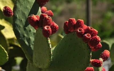 La Gomera, Tuna Cactus