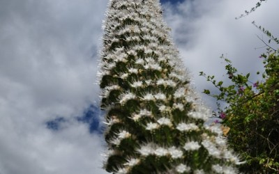 Gomera, Echium, Tower of jewels