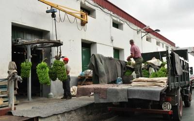 La Gomera, Hermigua, bananenoogst