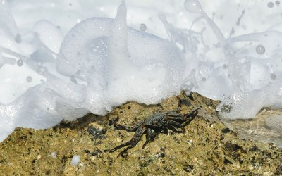 Lined Shore Crab als