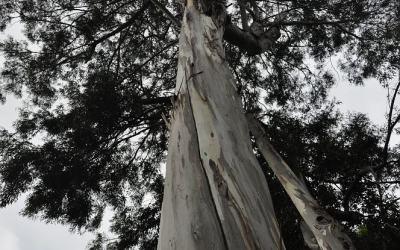 Eucalyptus boom, Kauai, Hawaii, 2011