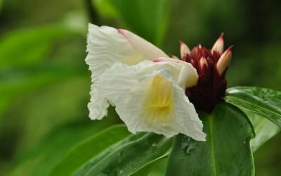 Witte Orchidee, Akaka Falls, Big Island Hawaii, 2011