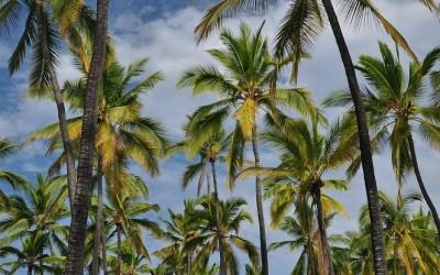 Palmbomen bij Pu'uhonua o Honaunau, Big Island, Hawaii, 2011