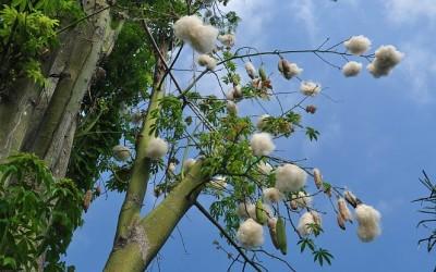 Kapokboom, Flores, Indonesië, 2012