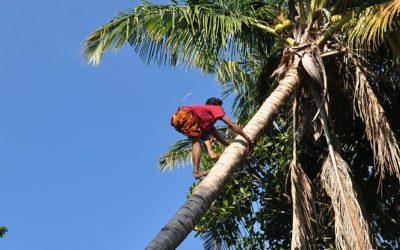Kokosnoten plukken, Lombok, Indonesië, 2012