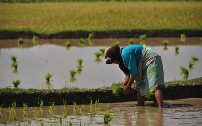 Rijstvelden in de buurt van Tetebatu, Lombok, Indonesië, 2012