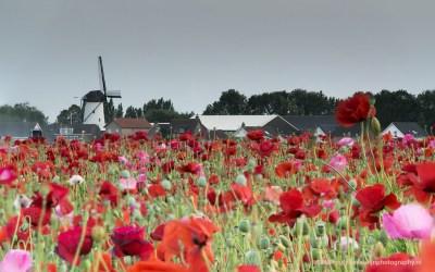 Klaproos, Brabant, 6-7-2015