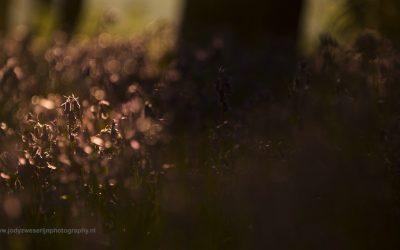 Wilde boshyacinten, Wassenberg, Duitsland, 24-4-2016