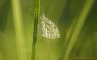Klein geaderd witje, Wieden, Wanneperveen, Nederland 19-8-2016
