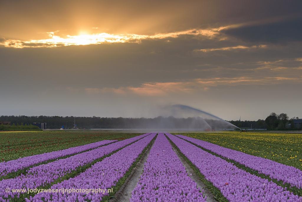 Tulpenvelden in de Noordoostpolder, 27-4-2018