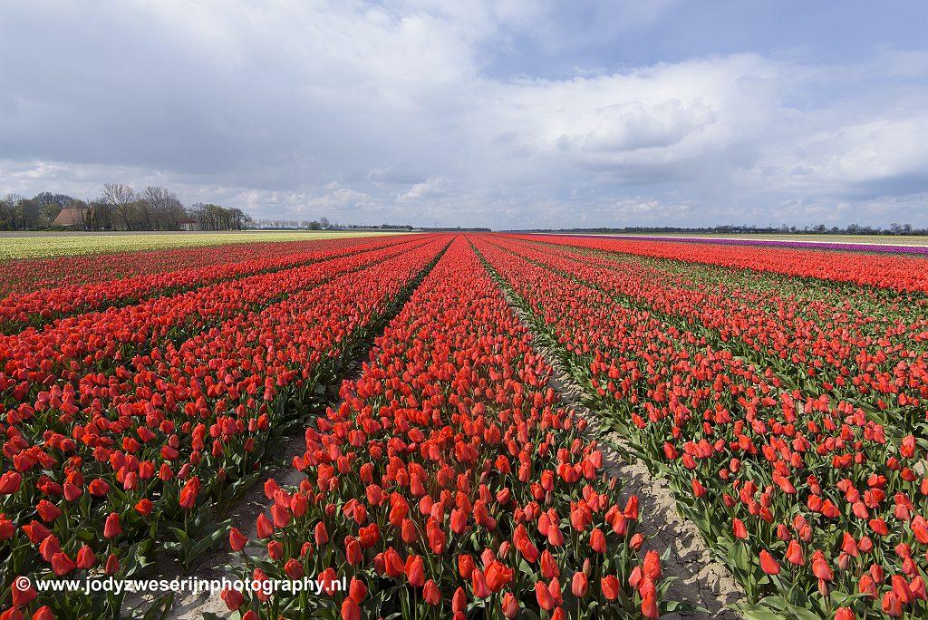 Tulpen in de Noordoostpolder, Emmeloord, 13-4-2019