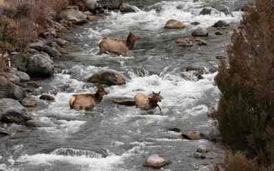 Elk, Yellowstone, januari 2019