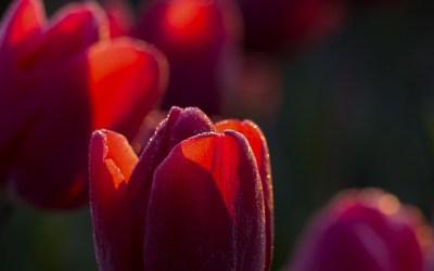 Tulpenvelden, Noordoostpolder, 2019