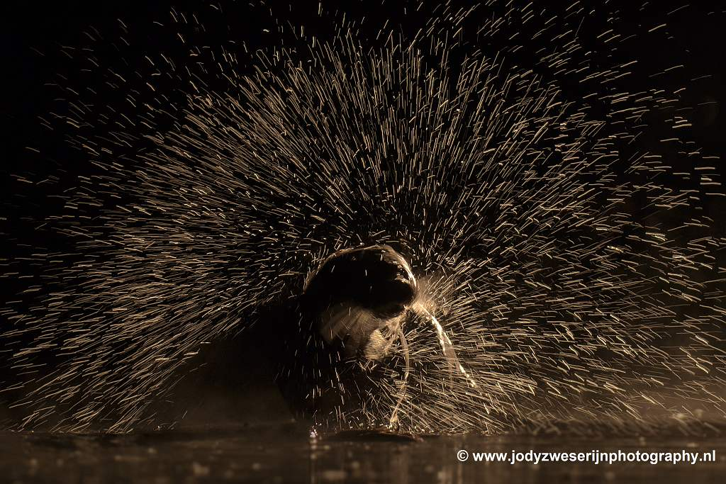 Otter in tegenlicht, Bence Mate hides Hongarije, 7-6-2021