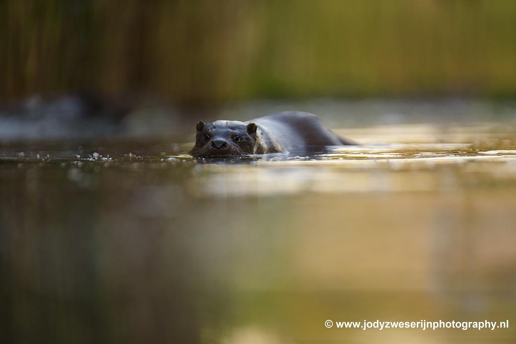 Otter, Bence Mate hides Hongarije, 7-6-2021