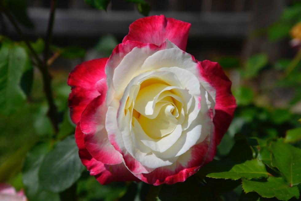 Security Rose