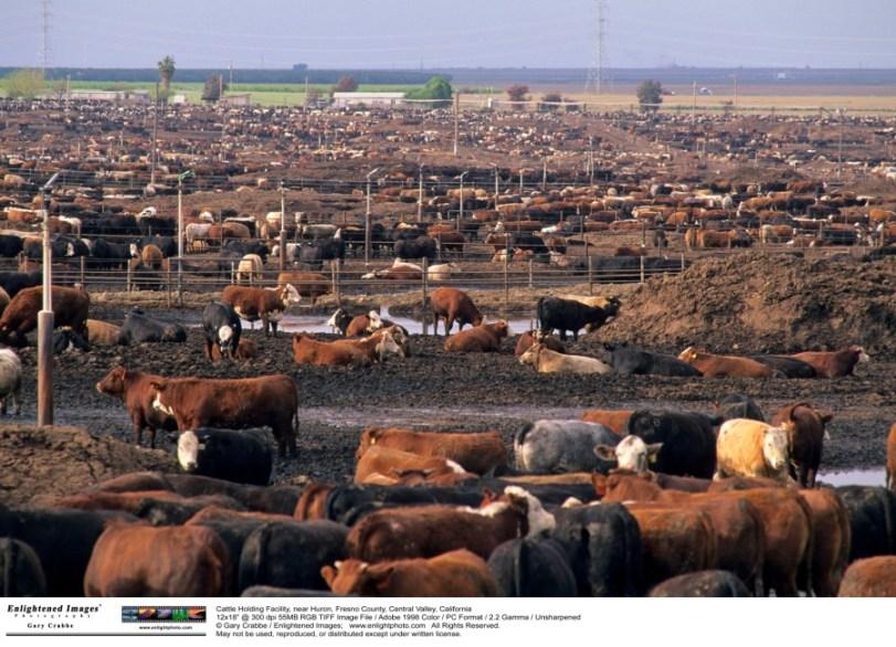 cattle horrible