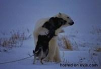 Polar Bear 2a