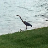 A heron by the lake.