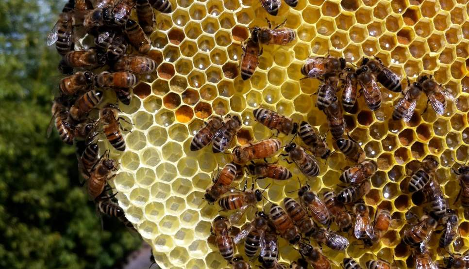 Go to Cross-combing in top bar hives