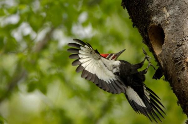 welcome ivorybilled woodpecker - 1024×680