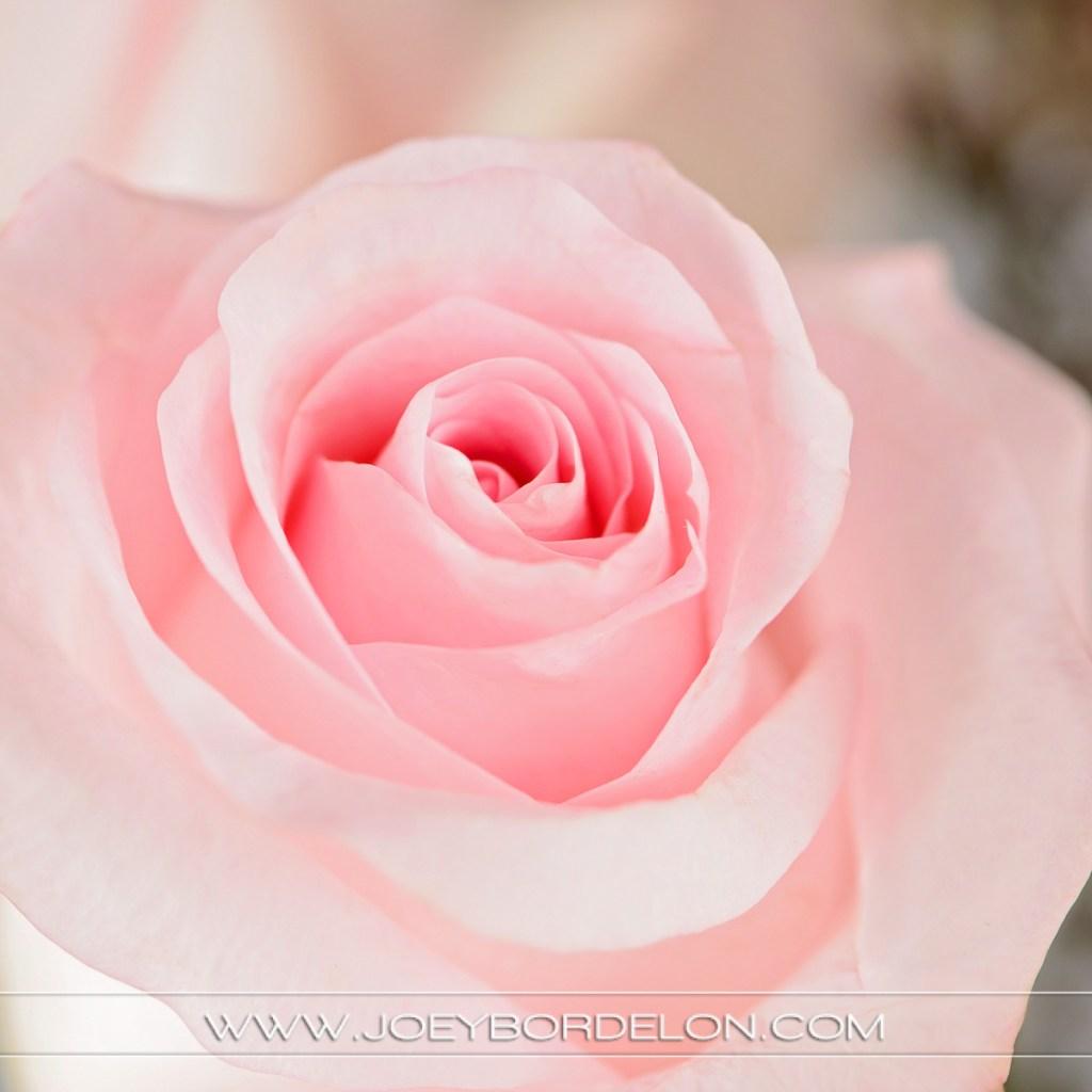 pink rose detail shot for floral corporation