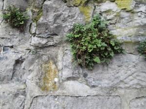 begroeide muur - mjp