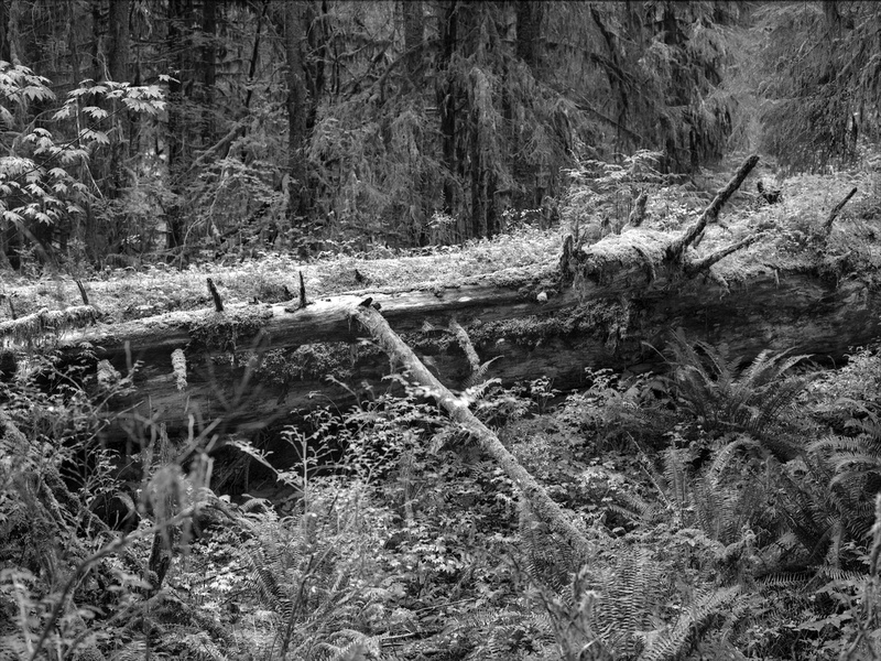 An enormous, fallen Western Red Cedar serves as the beginnings of a nurse log. Fallen and decaying trees can provide resources in greater abundance than the forest floor, accelerating growth in the highly competitive ecosystem of the Hoh Rainforest, Olympic National Park, Washington.