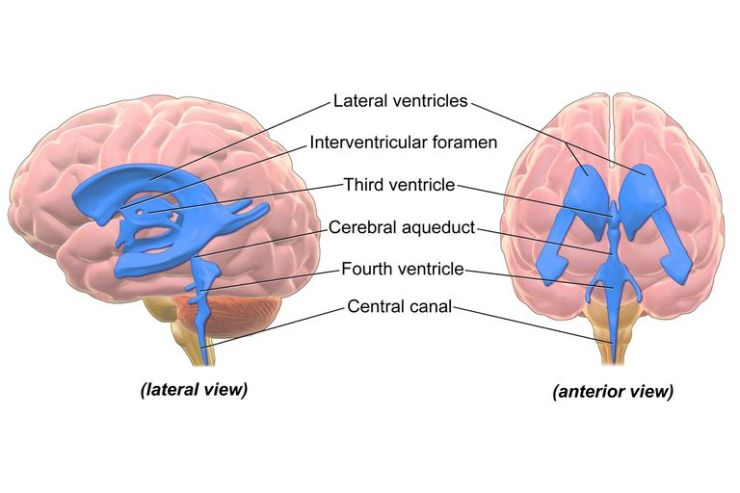 brain ventricles
