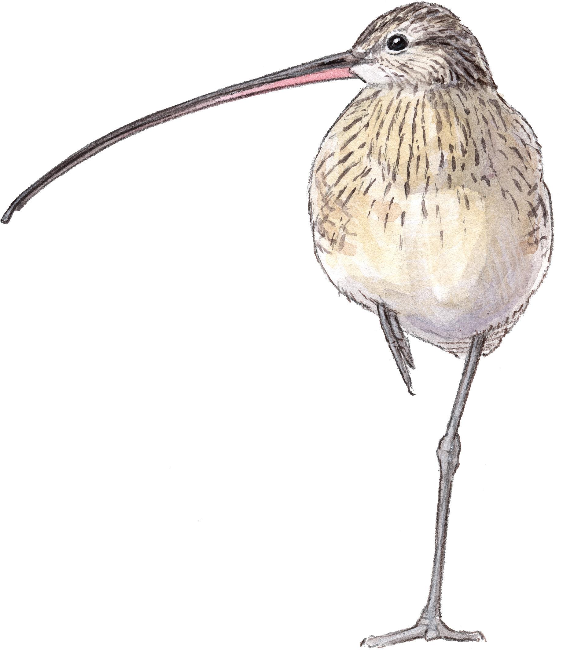 drawing waterfowl and waders john muir laws