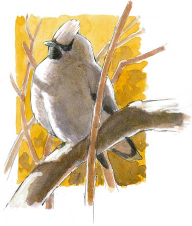 bohemian waxwing complete watercolor
