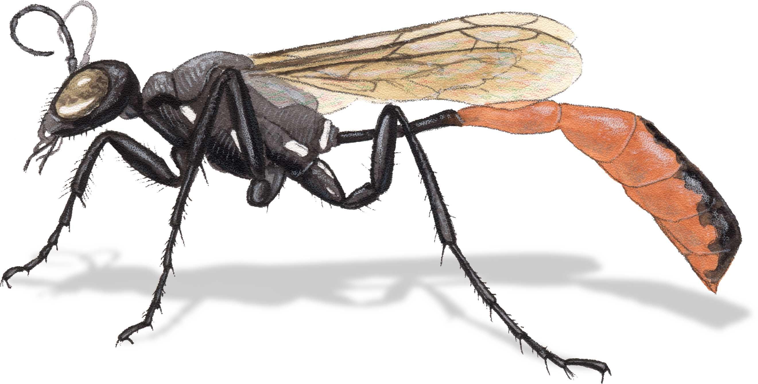 How to Draw Insects: Understanding and Drawing the Legs (part 1 ...