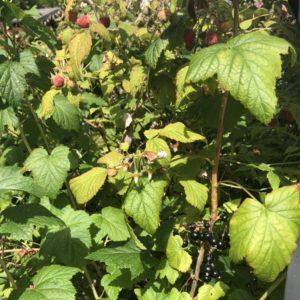 Wild raspberries and black currant bushes