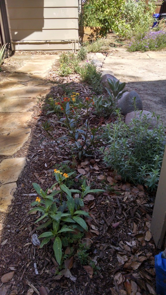 A recent pathway planting of sages, milkweed, fuschia, and verbena.